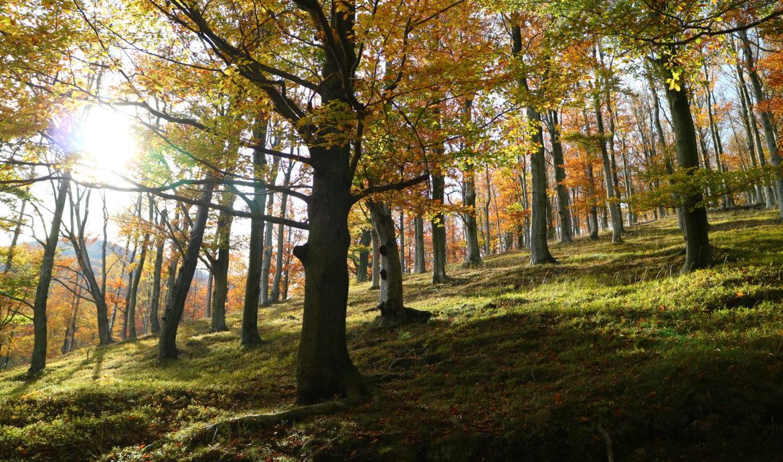 Jizerskohorské bučiny (ilustrační obrázek)